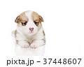 コーギー 子犬 37448607