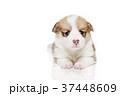 コーギー 子犬 37448609