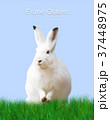 Easter, rabbit, green meadow, blue background 37448975
