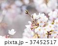 桜 文字スペース コピースペースの写真 37452517