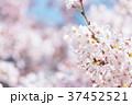 桜 文字スペース コピースペースの写真 37452521