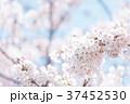 桜 文字スペース コピースペースの写真 37452530