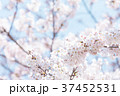 桜 文字スペース コピースペースの写真 37452531