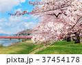 角館の桜並木 37454178