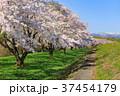 雫石川園地の桜並木 37454179