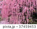 枝垂れ梅 梅 花の写真 37459453