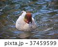 野鳥 水鳥 鴨の写真 37459599