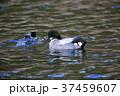 野鳥 水鳥 鴨の写真 37459607