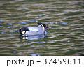 野鳥 水鳥 鴨の写真 37459611