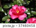 山茶花 花 植物の写真 37460458