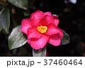 山茶花 花 植物の写真 37460464