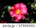 山茶花 花 植物の写真 37460481