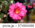 山茶花 花 植物の写真 37460486