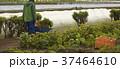農業 外国人男性 収穫 37464610