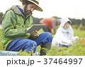 野菜の収穫 農家と外国人男性 タブレット 37464997