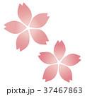 桜の花(二つ) 37467863