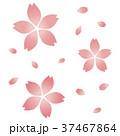 桜の花(複数) 37467864
