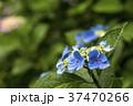 あじさい 紫陽花 花の写真 37470266