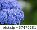 あじさい 紫陽花 花の写真 37470281