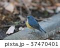 ルリビタキ 瑠璃鶲 小鳥の写真 37470401