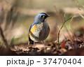 ルリビタキ 瑠璃鶲 小鳥の写真 37470404