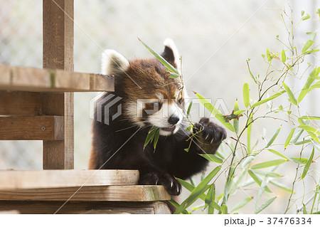 大牟田市動物園 レッサーパンダ、 37476334