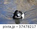 鳥 泳ぐ 水鳥の写真 37478217