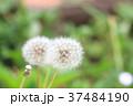 タンポポの種 タンポポ 綿毛の写真 37484190