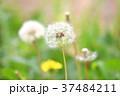 タンポポの種 タンポポ 綿毛の写真 37484211
