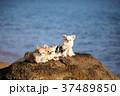 犬 動物 チワワの写真 37489850
