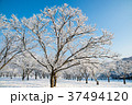 雪 樹木 木の写真 37494120
