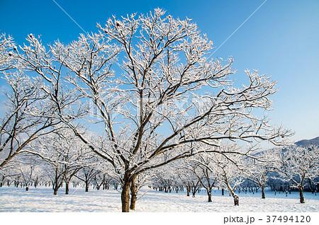 陽光に照らされる雪の積もった木々 37494120