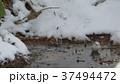 雪の水溜りに舞い降りた可愛い野鳥はシマエナガ._1 37494472