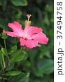 ハイビスカス 満開 花の写真 37494758