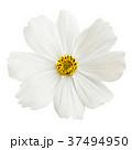 背景 花 コスモスの写真 37494950