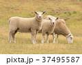 ひつじ ヒツジ 羊の写真 37495587