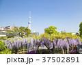 亀戸天神社 藤まつり 藤の花の写真 37502891
