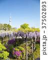 亀戸天神社 紫 東京スカイツリーの写真 37502893