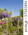 亀戸天神社 藤まつり 藤の花の写真 37502894