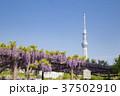 亀戸天神社 青空 東京スカイツリーの写真 37502910