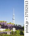 亀戸天神社 青空 東京スカイツリーの写真 37502913