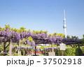 亀戸天神社 藤まつり 東京スカイツリーの写真 37502918