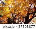 長篠城 紅葉 秋の写真 37503877