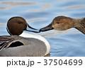 オナガガモ 鴨 鳥の写真 37504699