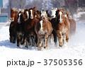 雪原を走る馬 37505356