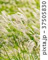 すすき 風 秋の写真 37505830