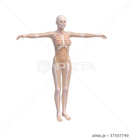 人体標本 女性の骨格と内臓イメージ perming 3DCGイラスト素材 37507740