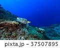 アオウミガメ ウミガメ 水中の写真 37507895