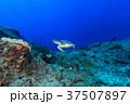 アオウミガメ ウミガメ 水中の写真 37507897