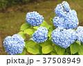 アジサイ 紫陽花 梅雨の写真 37508949